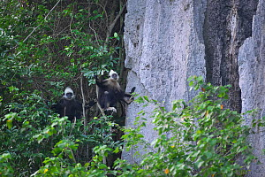 White-headed black langurs (Trachypithecus poliocephalus leucocephalus) in tree next to steep rock, Guangxi province, China, July. Critically endangered species. - Dong Lei