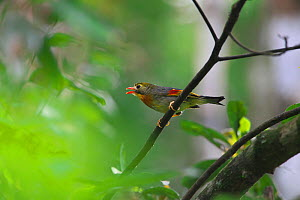Red-billed leiothrix (Leiothrix lutea) on branch, DaMingShan moutain, Guangxi province, China, July. - Dong Lei