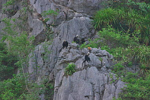 White-headed black langur (Trachypithecus poliocephalus leucocephalus) group on cliffs, Guangxi province, China, July. Critically endangered species. - Dong Lei