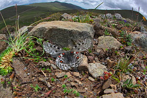 Mountain apollo butterfly (Parnassius apollo) melanistic form, Yunnan, China. July. Vulnerable species.  -  Dong Lei
