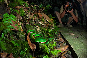 Photographer taking picture of Stejneger's pit viper (Trimeresurus stejnegeri) DaMingShan moutain, Guangxi province, China, July. - Dong Lei