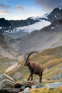 Alpine ibex (Capra ibex) adult male in mountain landscape. Alps, Aosta Valley, Gran Paradiso National Park, Italy. September.  -  David  Pattyn