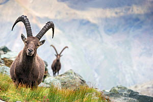 Alpine ibex (Capra ibex) two adult males in mountain landscape. Alps, Aosta Valley, Gran Paradiso National Park, Italy. September. - David  Pattyn