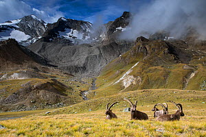 Alpine ibex (Capra ibex) adult males resting on trail, in mountain landscape. Alps, Aosta Valley, Gran Paradiso National Park, Italy. September. - David  Pattyn