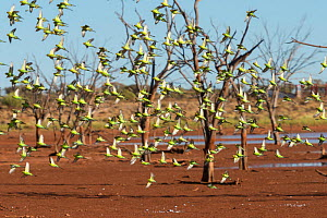 Flock of Budgerigars (Melopsittacus undulatus) in flight by outback dam, Northern Territory, Australia. - Jurgen Freund