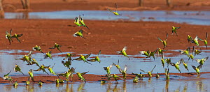 Flock of Budgerigars (Melopsittacus undulatus ) drinking in an outback dam, Northern Territory, Australia. - Jurgen Freund