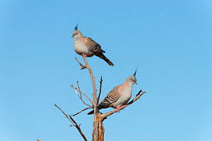 Crested pigeons (Ocyphaps lophotes) perched on snag, Northern Territory, Australia.  -  Jurgen Freund