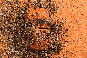 Anthill (Formicidae) in red desert sand surrounded by the rubbish from the nest, Northern Territory, Australia.  -  Jurgen Freund