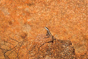 Long-nosed dragon lizard (Amphibolurus longirostris) granite boulder at the Devils Marbles, Northern Territory, Australia. - Jurgen Freund