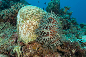 Crown of thorns starfish (Acanthaster planci) on the side of a Platygyra coral and digesting it with its stomach. Great Barrier Reef, Queensland, Australia. - Jurgen Freund