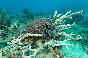 Crown of thorns starfish (Acanthaster planci) on top of a coral and digesting it with its stomach. Great Barrier Reef, Queensland, Australia. - Jurgen Freund