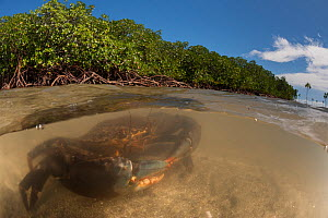 Mud crabs (Scylla serrata) in the water by Mangrove roots, split level image, Mali Island, Macuata Province, Fiji, South Pacific. - Jurgen Freund