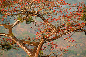 African tulip tree (Spathodea) in flower, Boje Village, Nigeria. - Cyril Ruoso