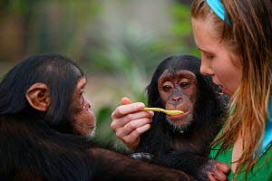 Volunteer feeding young Chimpanzees (Pan troglodytes) Pandrillus Sanctury Rehabilitation Centre,  Nigeria. - Cyril Ruoso