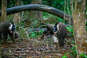Drill (Mandrillus leucophaeus) aggression between dominant male and challenger, Pandrillus Sanctuary, Nigeria. - Cyril Ruoso