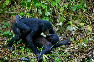 Bonobo (Pan paniscus) male and female copulating, Lola ya Bonobo Sanctuary, Democratic Republic of Congo - Cyril Ruoso