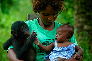 Surrogate mother holding orphan Bonobo (Pan paniscus) and her own baby Lola ya Bonobo Sanctuary, Democratic Republic of the Congo. - Cyril Ruoso