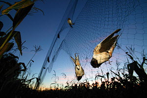 Barn swallows (Hirundo rustica) caught in mist net, ready to be ringed, measured and released. Pitou, France.  -  Cyril Ruoso
