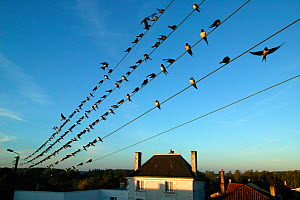 Flock of Barn swallows (Hirundo rustica) perched on power lines during migration,  France. September. - Cyril Ruoso