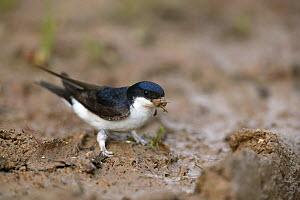 House martin (Delichon urbicum) gathering mud to build nest, Picardy, France.  -  Cyril Ruoso