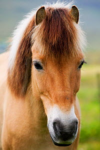 Iceland horse close up portrait, Faroe Islands.  -  Cyril Ruoso