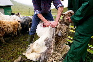 Men shearing sheep, Streymoy, Faroe Islands. August 2003.  -  Cyril Ruoso