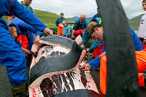Residents of Faroe Islands butchering 150 Long finned pilot whales (Globicephala melas) after traditional hunt. The residents will share the meat between themselves. Faroe Islands, August 2003. - Cyril Ruoso