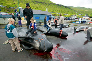 Children playing on carcasses of Long finned pilot whale (Globicephala melas)  Faroe Islands, August 2003.  -  Cyril Ruoso