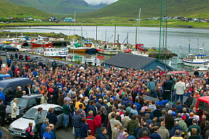 Residents of Faroe Islands with carcasses of 150 Long finned pilot whale (Globicephala melas) after traditional hunt. The residents will share the meat between themselves. Faroe Islands, August 2003. - Cyril Ruoso