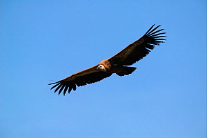 Griffon vulture (Gyps fulvus) in flight with blue sky, Les Causses et les Cevennes, Southern France. - Cyril Ruoso