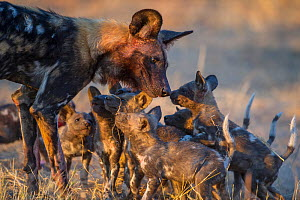 African wild dog  (Lycaon pictus) interacting with  pups age two months, okavango delta, Botswana  -  Laurent  Geslin