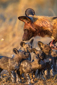 African wild dog (Lycaon pictus) with pups, Okavango Delta, Botswana.  -  Laurent  Geslin
