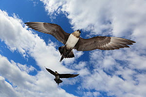 Arctic skuas (Stercorarius parasiticus) in flight, mobbing to protect nest, Svalbard, Norway, July.  -  Pal Hermansen