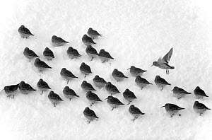 Flock of Purple sandpipers (Calidris maritima) in snow, aerial view, Batsfjord, Finnmark, Norway, February. - Pal Hermansen