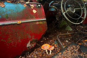 Fly agaric (Amanita muscaria) growing in car graveyard, Bastn�s, Sweden, September. - Pal Hermansen