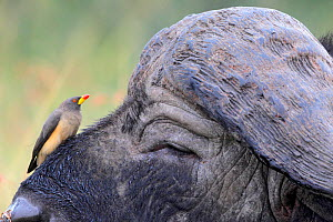 Yellow-billed oxpecker (Buphagus africanus) on African buffalo (Syncerus caffer), Masai Mara, Kenya  -  Pal Hermansen