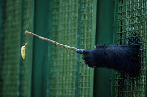 Western lowland gorilla (Gorilla gorilla gorilla) captive, using stick to get banana in behavioural experiment.  Non-ex  -  Cyril Ruoso