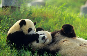 Giant panda (Ailuropoda melanoleuca) mother and young playing, captive, Sichuan, China. Non-ex  -  Cyril Ruoso