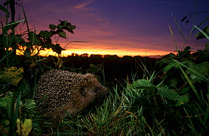 European hedgehog (Erinaceus europaeus) at dusk, Picardy, France. Non-ex  -  Cyril Ruoso