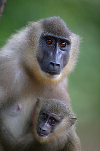 Drill (Mandrillus leucophaeus) female and young, Pandillus Sanctuary, Nigeria. - Cyril Ruoso