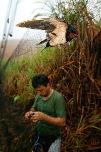 Barn swallows (Hirundo rustica) caught in net by researcher for ringing,  Ebakken, Nigeria.  -  Cyril Ruoso