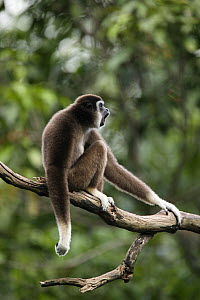 White-handed gibbon (Hylobates lar) captive at Singapore Zoo.  -  Cyril Ruoso