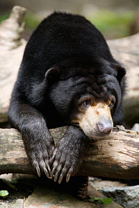 Asiatic black bear (Ursus thibetanus) resting, captive at Singapore Zoo. Non-ex  -  Cyril Ruoso