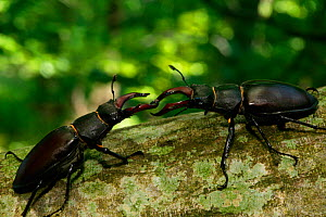 Stag beetles (Lucanus cervus) males fighting, France. - Cyril Ruoso