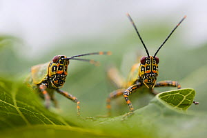 Harlequin grasshopper (Zonocerus variegatus) Democratic Republic of the Congo. Non-ex - Cyril Ruoso