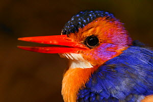 Pygmy kingfisher (Ceyx picta) portrait, Cross River State, Nigeria. Non-ex  -  Cyril Ruoso