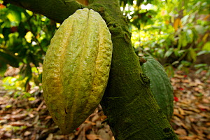 Cocoa plantation (Theobroma cacao) fruit in plantation, Cross River State, Nigeria. - Cyril Ruoso