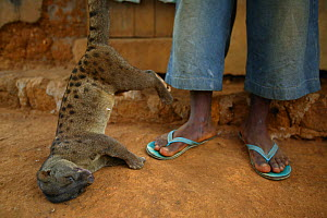African palm civet (Nandinia binotata) sold as bush meat, Cross River State, Nigeria.  -  Cyril Ruoso