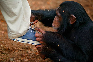 Chimpanzee (Pan troglodytes) orphan baby playing with keepers shoe, Pandrillus, Sanctuary, Nigeria.  -  Cyril Ruoso
