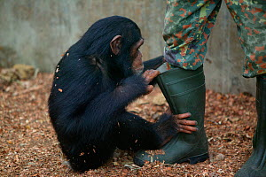 Chimpanzee (Pan troglodytes) orphan baby playing with keepers boot. Pandrillus, Sanctuary, Nigeria.  -  Cyril Ruoso
